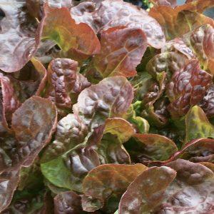 f.di quercia rossa