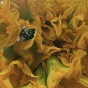 fiore di zucchino