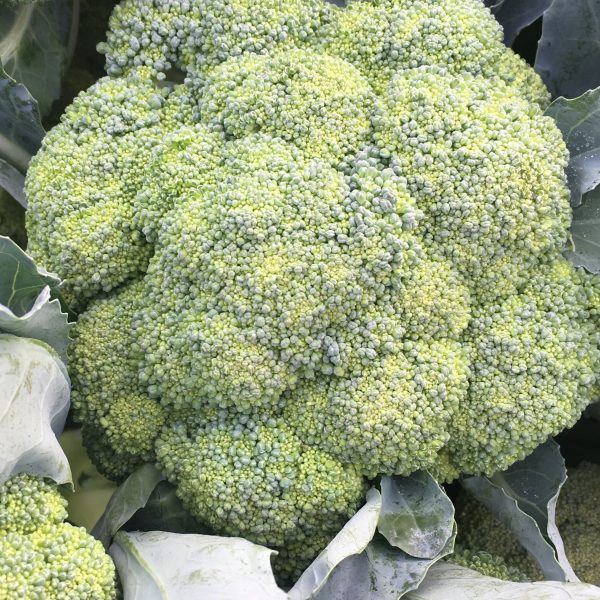 Broccoletto1